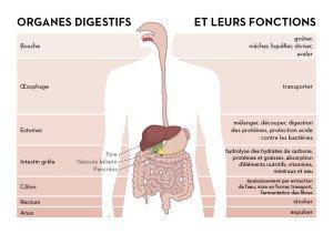 role des organe de la digestion
